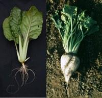 Genetic analysis of storage root formation in sugar beet